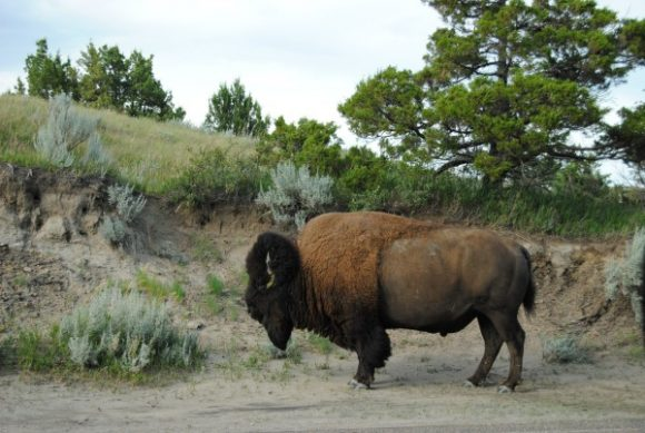 North Dakota bison